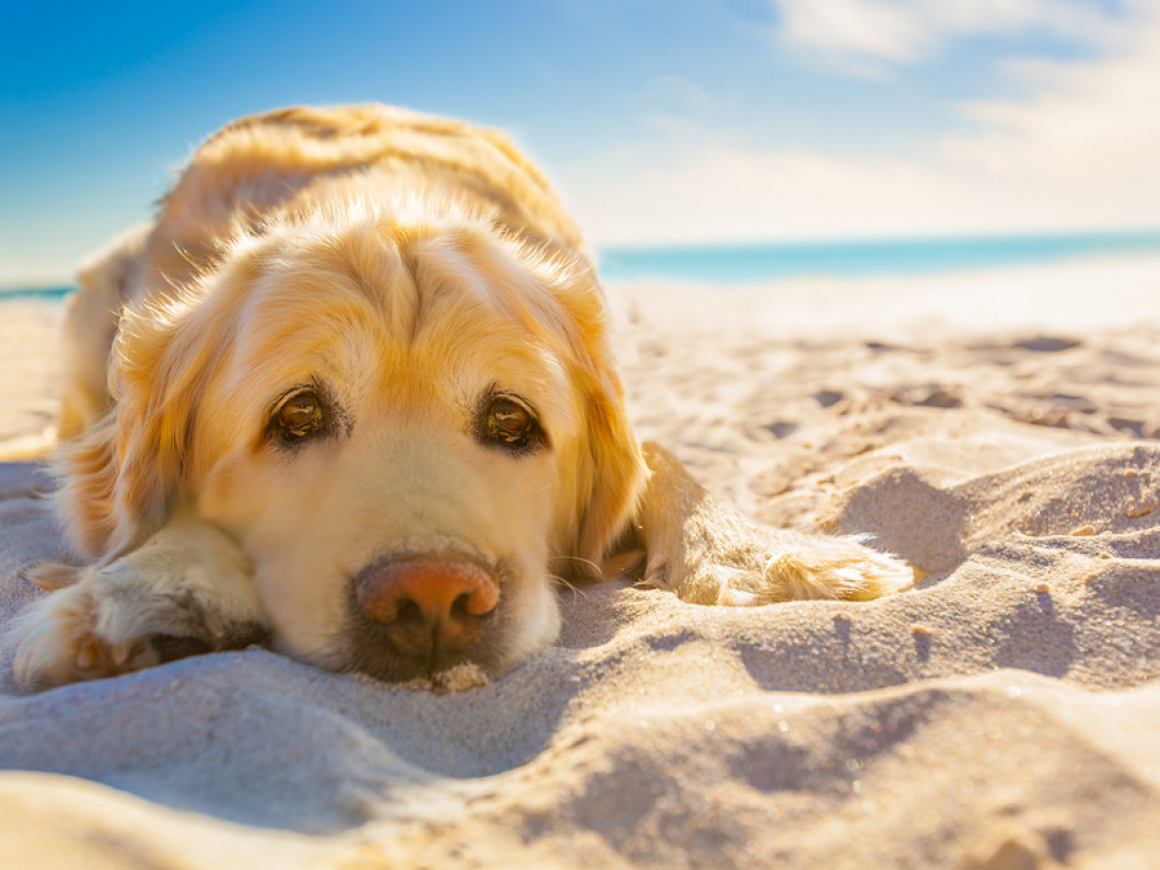 Heatstroke in Dogs and Cats - Causes, Signs and First Aid